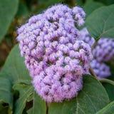 Interesting Purple Bloom of the Blue Mistflower (Conoclinium coelestinum) Stock Photos