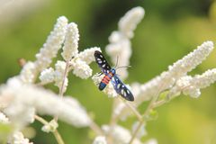 Interesting Insects from Africa - Red Wasp Stock Photography