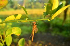 Dragonfly hang on branch of green orange leaves. An interesting sight this morning. A dragonfly is hanging on an orange branch. This view was taken from the side royalty free stock photo