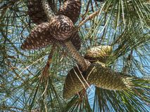 Interesting simultaneous combination of young green and mature brown pine cones on branch pine Stankevich Pinus brutia stankewicz. Ii.Pinus brutia var royalty free stock images