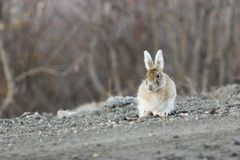Interesting snowshoe hare Stock Image