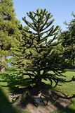 An interesting tree of Araucaria in a botanical garden with a si. Gn for visitors . For your design Royalty Free Stock Images