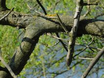 Interesting tree branch and moss. Under the sun in spring Royalty Free Stock Photo
