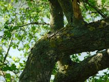 Interesting tree branch and moss. Under the sun in spring Royalty Free Stock Images