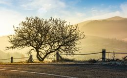 Interesting tree by the road at foggy sunrise. Beautiful mountainous countryside in late autumn Stock Image