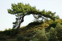 Interestingly growing pine Stock Image