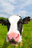interesująca krowa Obrazy Stock