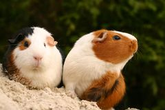interesujące zwierzęta domowe Obraz Stock