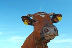 interesująca krowa Zdjęcie Stock