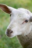 interesujące owce Obrazy Stock
