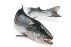 Interi salmoni Immagini Stock