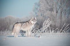 Interim grigi e bianchi del cane del husky siberiano nel prato della neve Fotografia Stock