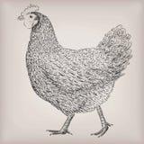 Interim vivo dell'uccello della gallina del pollo dell'azienda agricola del pollame domestico dell'animale da carne illustrazione vettoriale