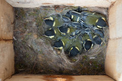 Interior of a bird house. With nine baby birds (great tit Parus major royalty free stock image