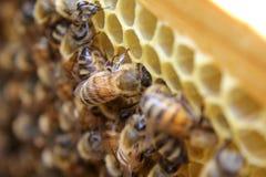 Interior da colmeia - abelhas do mel que trabalham em um favo de mel Imagens de Stock