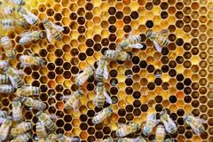 Interior da colmeia - abelhas do mel que trabalham em um favo de mel Fotografia de Stock Royalty Free