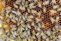 Interior da colmeia - abelhas do mel que trabalham em um favo de mel Foto de Stock