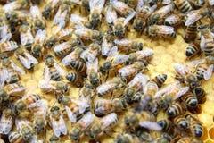 Interior de la colmena - abejas de la miel que trabajan en un panal Fotografía de archivo