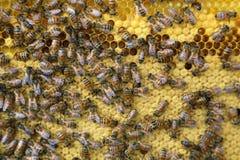 Interior de la colmena - abejas de la miel que trabajan en un panal Fotografía de archivo libre de regalías