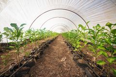 Interior de uma estufa agrícola Imagem de Stock Royalty Free