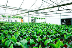 The interior of the flowers greenhouse Royalty Free Stock Image
