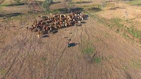 Interior ganado que reúne con la manada del ganado almacen de metraje de vídeo