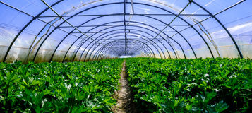Interior of Greenhouse for celery cultivation Stock Image