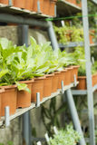 Interior of greenhouse for growing flowers and plants. Market for sale plants. Many plants in pots Royalty Free Stock Image