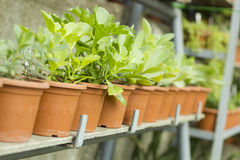 Interior of greenhouse for growing plants. Market for sale plants. Many plants in pots Stock Image