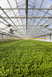 Interior of greenhouse with organic herbs. Royalty Free Stock Photos