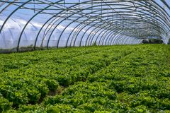 Interior of Greenhouse for salad cultivation Royalty Free Stock Photos