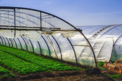 Interior of Greenhouse for salad cultivation Stock Image