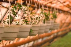 interior of a greenhouse in spring with flowering plants stock image