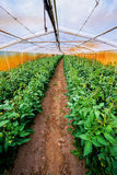 Interior of the greenhouses in which grows organically Stock Images