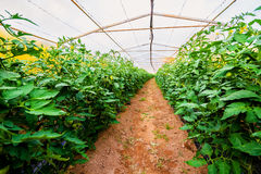 Interior of the greenhouses Stock Images