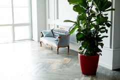 An interior of a living room. Sofa and a big rubber plant. A big living room, cozy sofa and a big widow, ficus in a red pot royalty free stock images