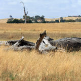 Interior paisaje australiano con madera muerta Foto de archivo