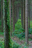 Interior of Pine Plantation Stock Photos