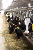Interior of the typical cow farm in Belarus. Stock Images
