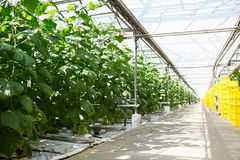 Hothouse interior. Interior of vast modern hothouse with wide aisle and cucumber vegetation along it Royalty Free Stock Image