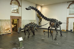 Interior view of Senckenberg Museum in Frankfurt. Frankfurt, Germany - April 25, 2016. Interior view of Senckenberg Museum in Frankfurt, with casts of Diplodocus Stock Photos