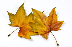 Interlaced leaves Stock Images