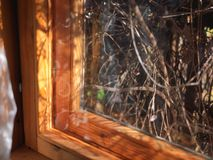 Interlacing plants behind window. A wooden framed window and interlacing plants behind the glass, shallow depth of field stock image