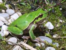 Intermedia italien de Hyla de grenouille d'arbre Image stock