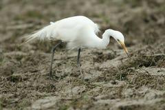 Intermediate Egret stock image