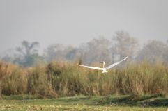 Intermediate Egret or the Ardea intermedia. The Intermediate Egret or the Ardea intermedia flying royalty free stock photos