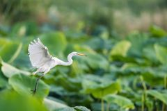 Intermediate egret, ardea intermedia. Intermediate egret flapping its wings flying in lotus pond,ardea intermedia royalty free stock photos