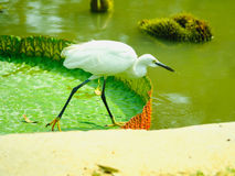 Intermediate Egret on big lotus leaf in public park. Royalty Free Stock Photos