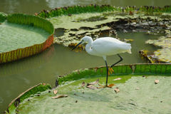 Intermediate Egret on big lotus leaf in public park Royalty Free Stock Photo