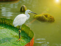 Intermediate Egret on big lotus leaf in public park. With sun lighting flare effect. Bangkok, Thailand stock image